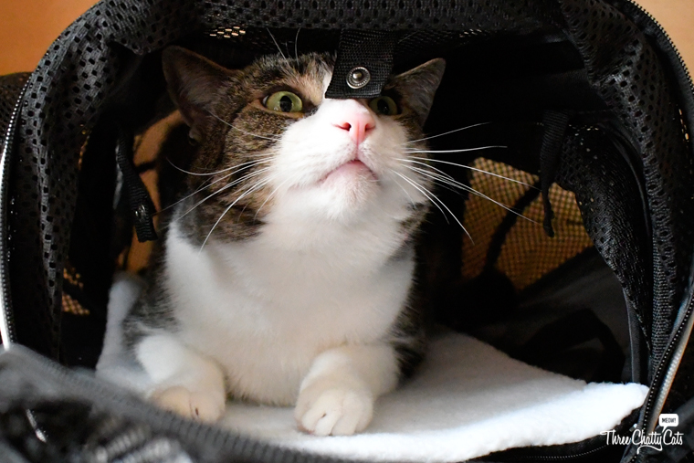 tabby cat investigates Smiling Paws Pets Expandable Pet Carrier