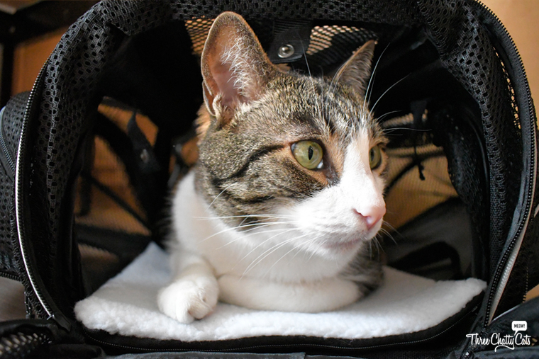 tabby cat relaxes in Smiling Paws Pets Expandable Pet Carrier