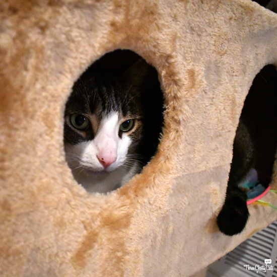 tabby cat hiding in cat tree