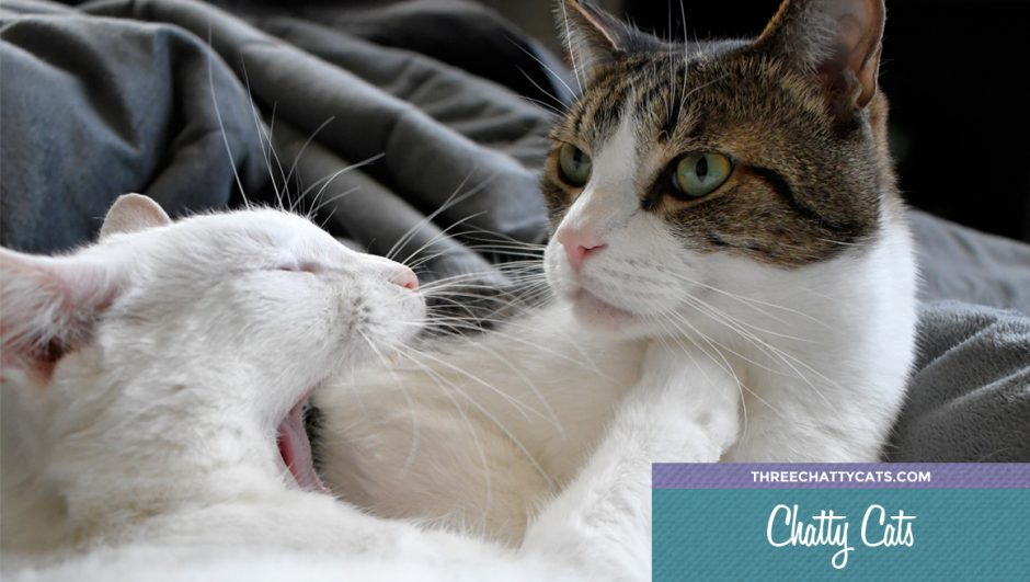 white cat yawning with tabby cat
