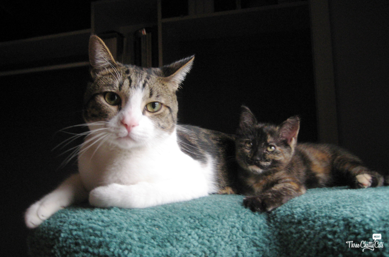 tabby cat and tortie kitten