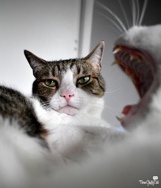 unamused tabby cat with white cat yawning