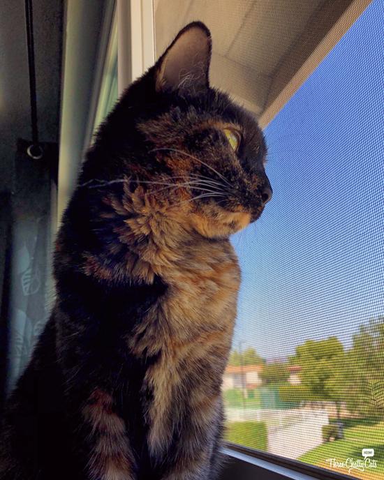 nosy tortie cat