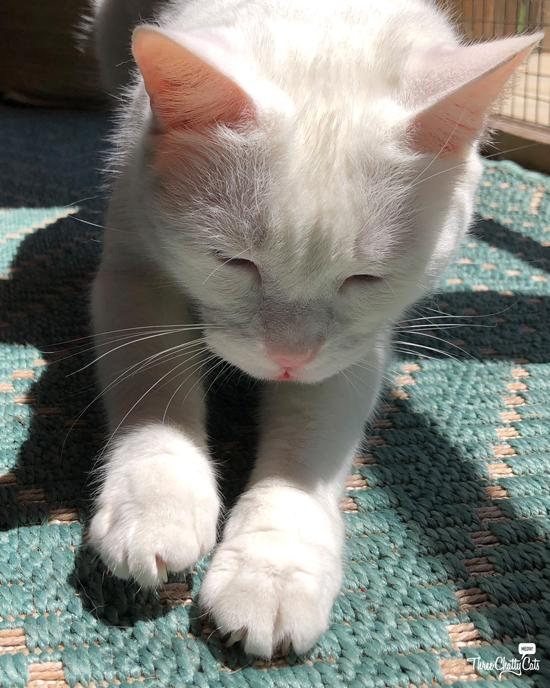 white cat in sunpuddle