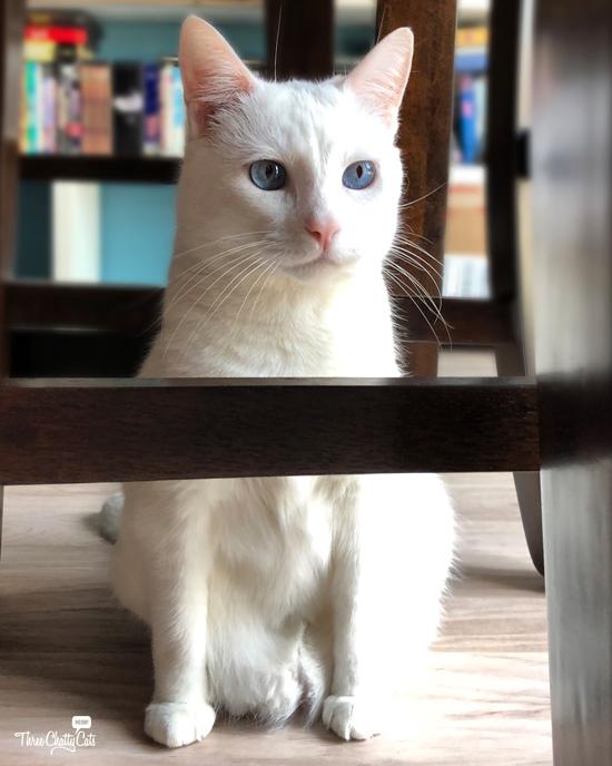 white cat sitting under chair