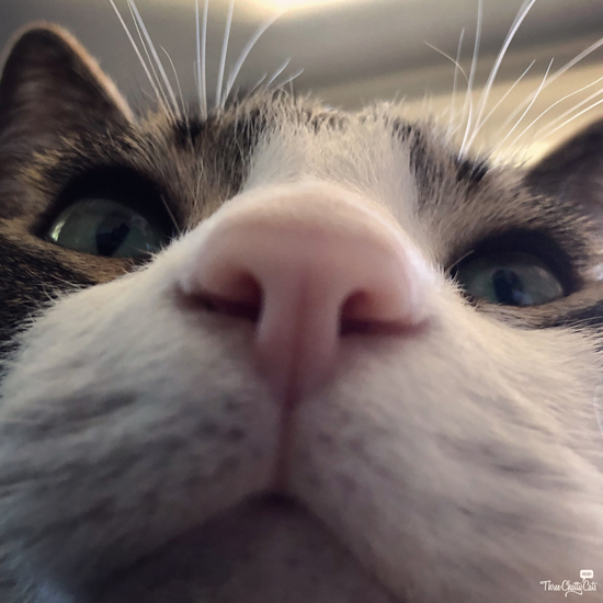 close-up of tabby cat #boop
