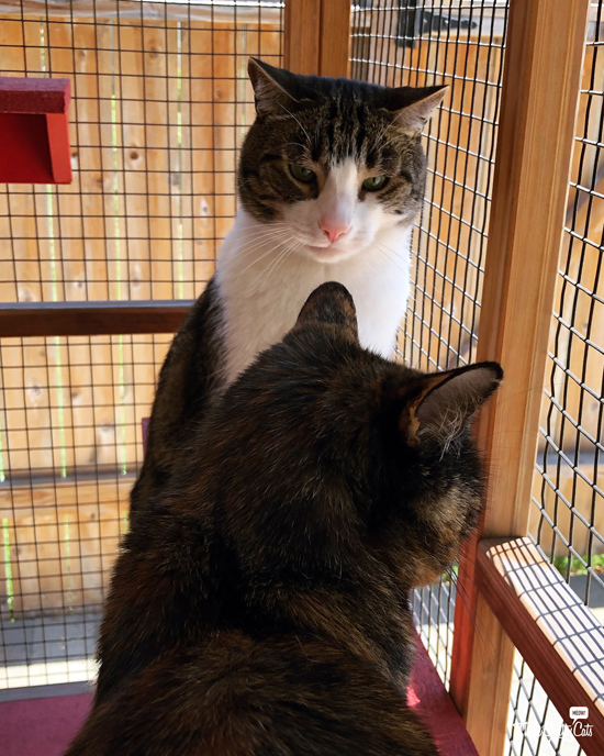 tabby cat staring at tortie cat in catio