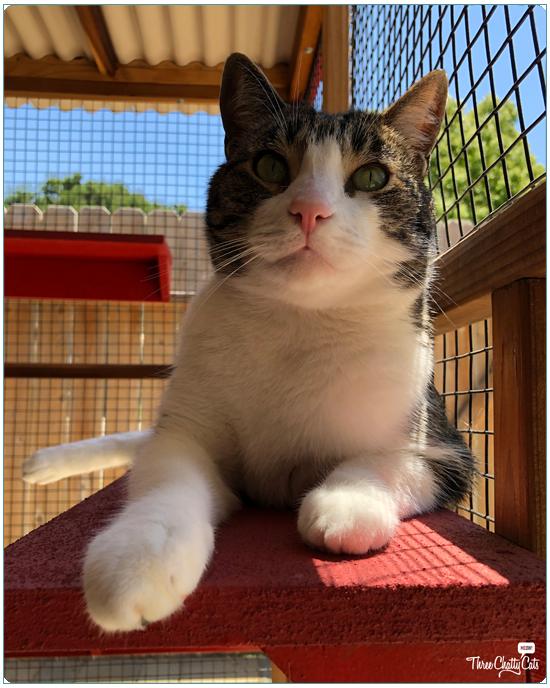 tabby cat in catio