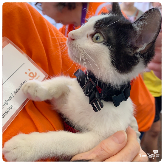 black and white kitten for adoption at CatCon 2019