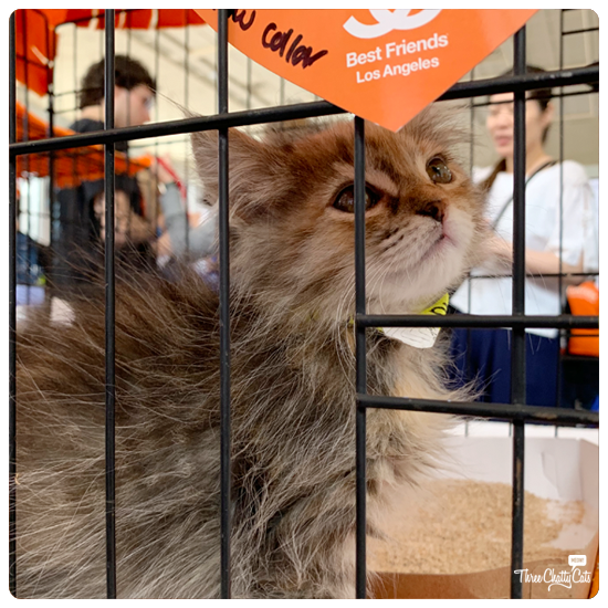 fluffy kitten for adoption at CatCon 2019