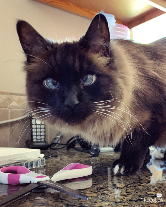 handsome Siamese cat on counter