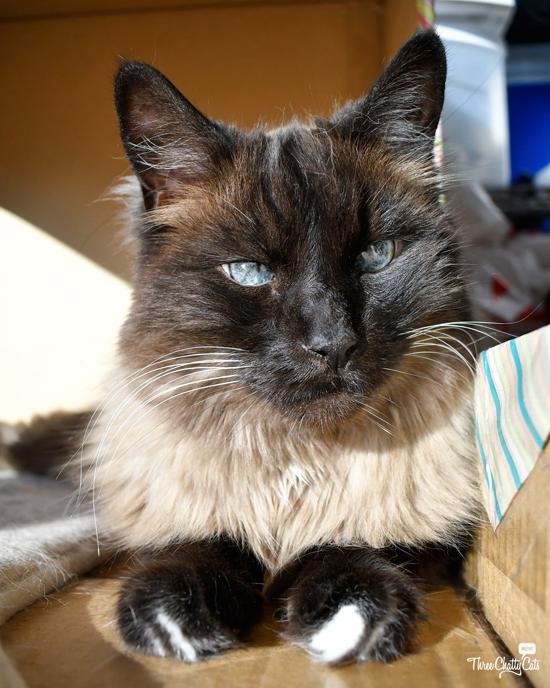 handsome Siamese cat