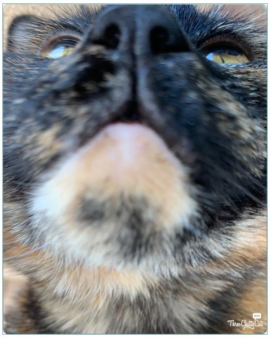 blooper shot of cute tortie cat