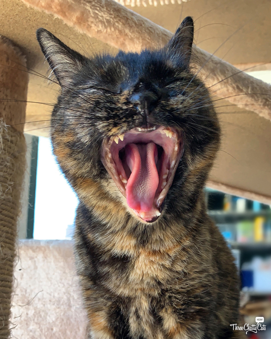 yawning tortie cat