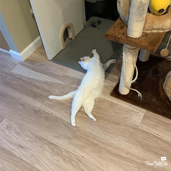 blooper photo of dramatic white cat