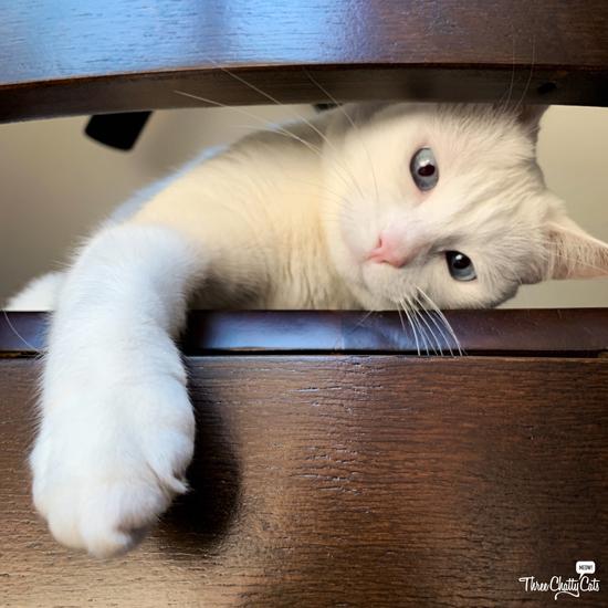cute white cat playing peek-a-boo