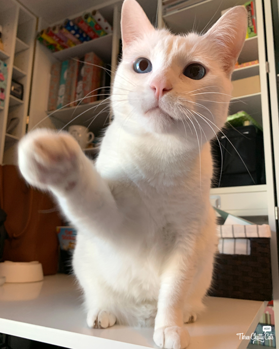 white cat with paw out
