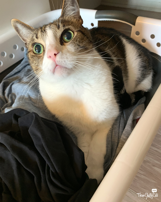 surprised tabby cat in laundry basket