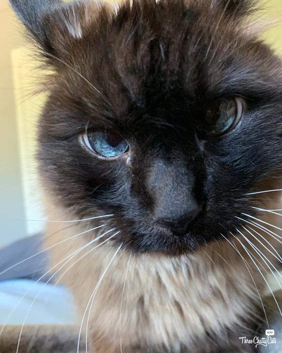 grumpy Siamese cat
