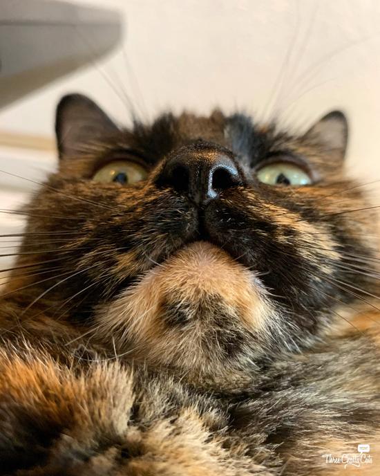 silly tortie cat taking selfie