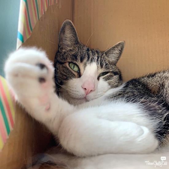happy tabby cat in cardboard box