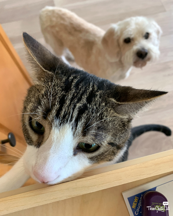 tabby cat peeking in drawer with dog behind him