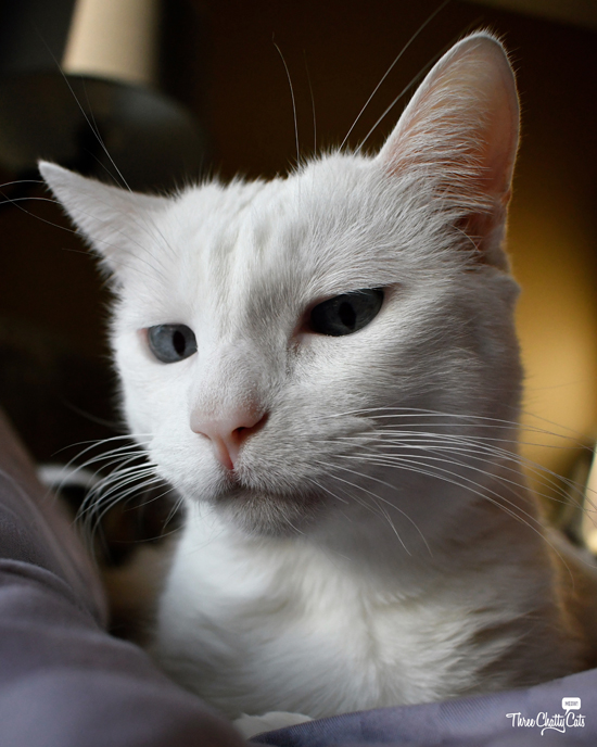 concerned white cat