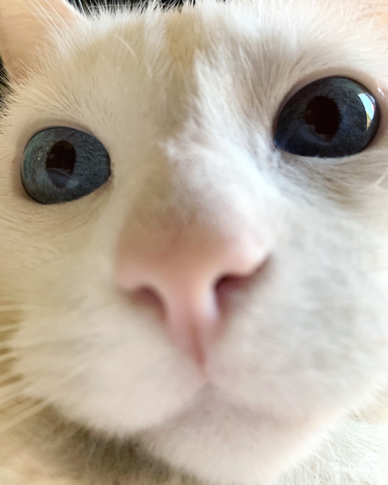 close-up of cute white cat with blue eyes