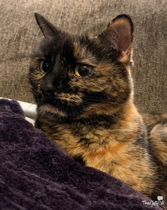 concerned tortie cat