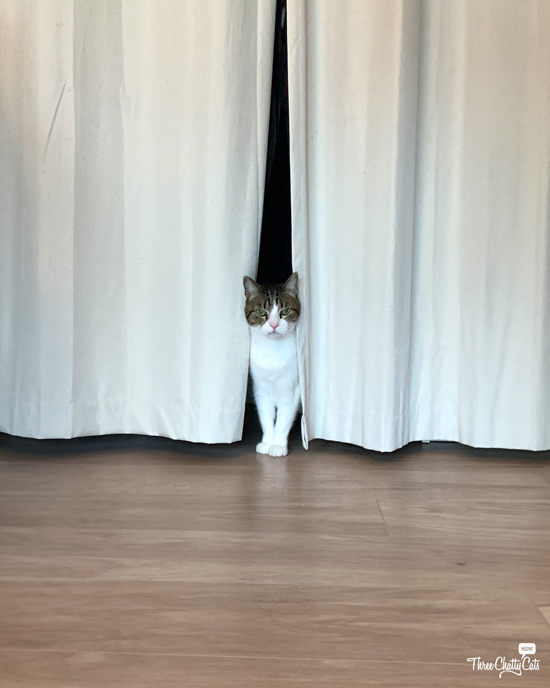 tabby cat standing between curtains