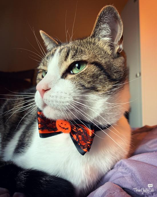 tabby cat in Halloween bow tie