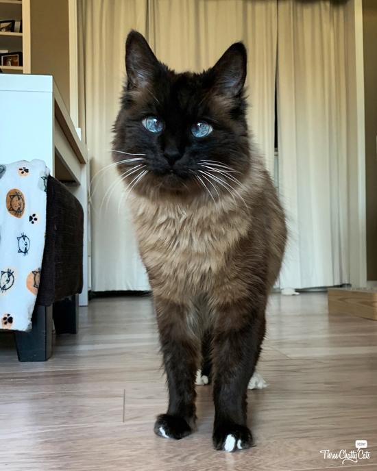 blue-eyed cat wants treat