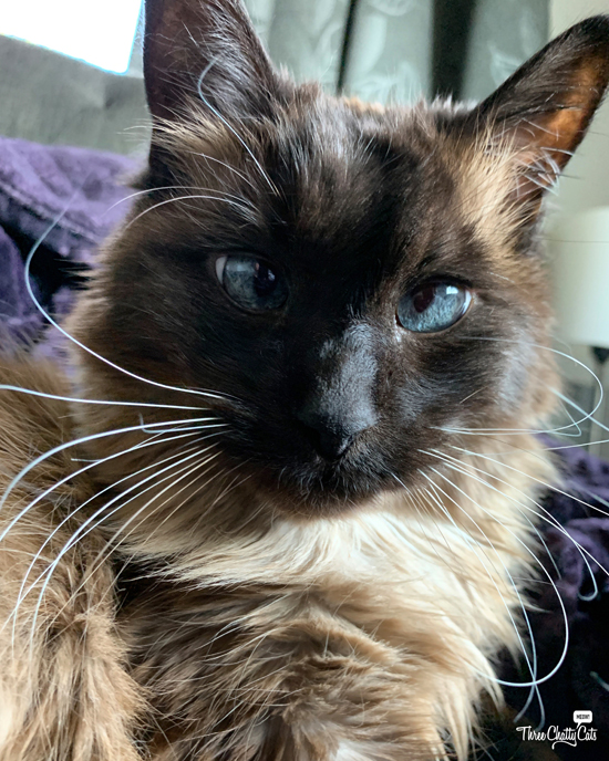 gorgeous siamese cat with long whiskers