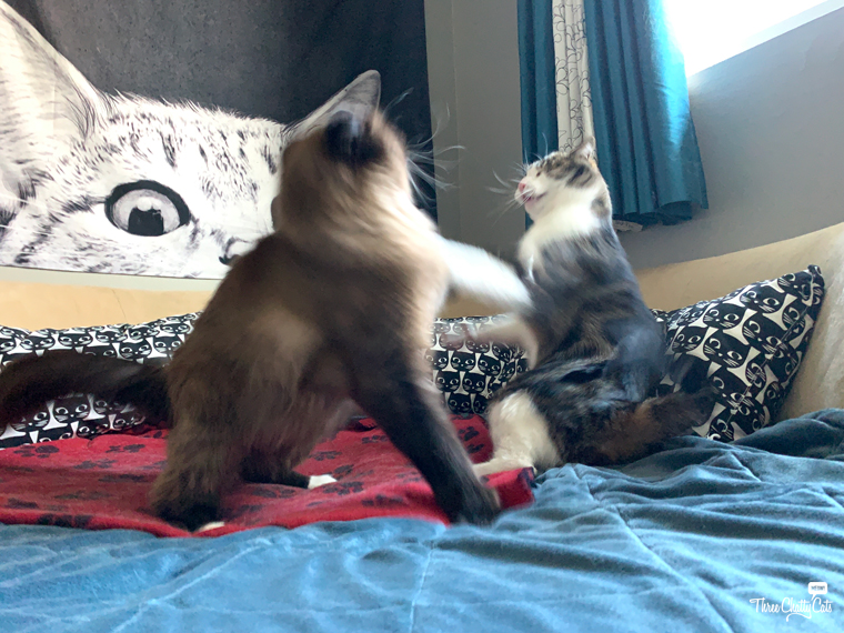 two cats play fighting #blooper