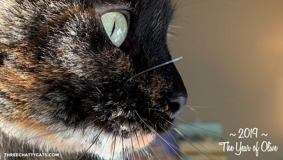 close-up of beautiful tortie cat