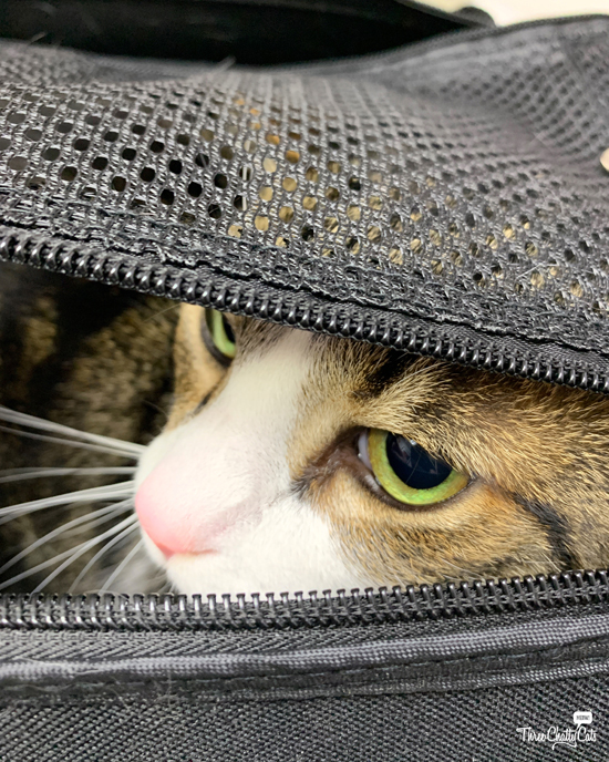 tabby cat doesn't want to come out of carrier at vet office