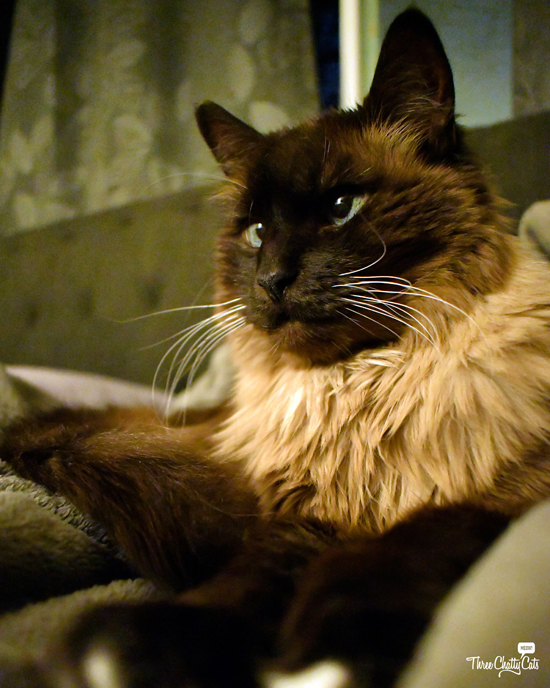 handsome Siamese cat at bedtime