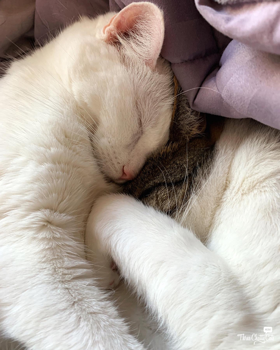 white cat and tabby cat snuggling