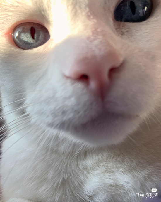 white cat takes selfie