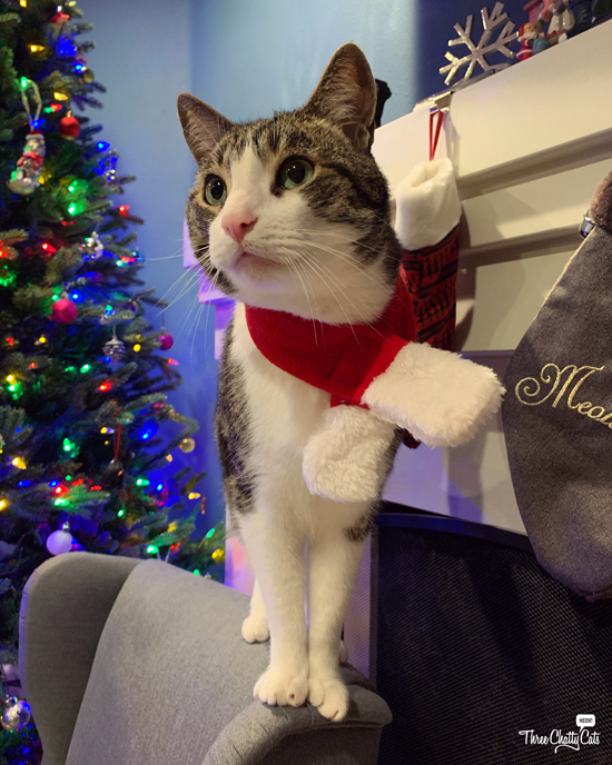 handsome holiday tabby cat in Christmas scarf