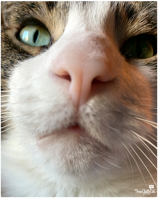 goofy tabby cat takes selfie