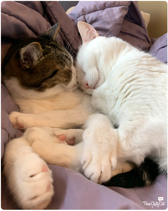 white cat smashing nose of tabby cat while cuddling