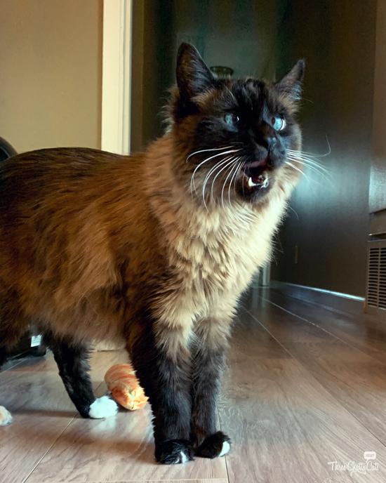 shocked siamese cat