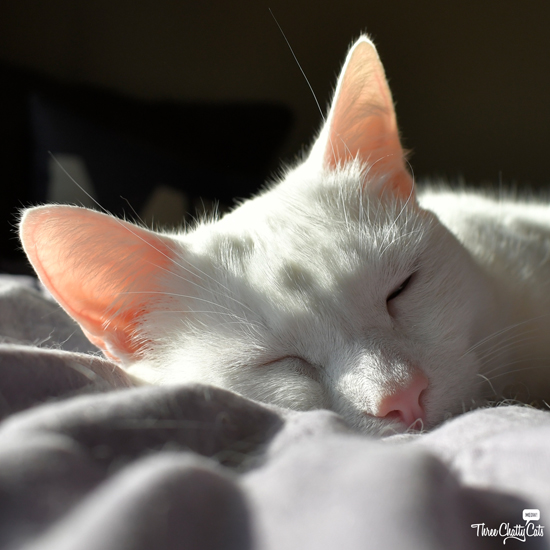 sleeping white cat with pink ears