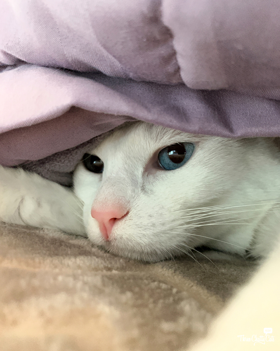 white cat with blue eyes hiding