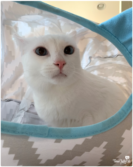 cute white cat sitting in cat tunnel