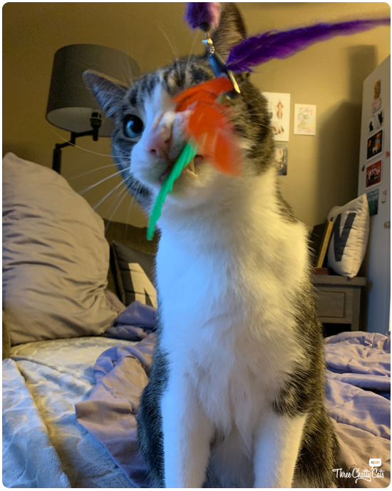 tabby cat chomping cat toy