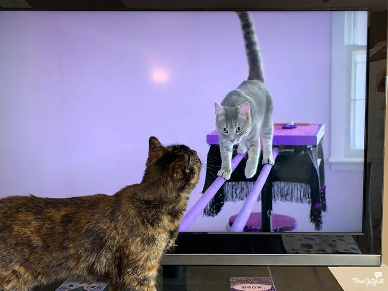 tortie cat watches gray cat on tv #acrocats