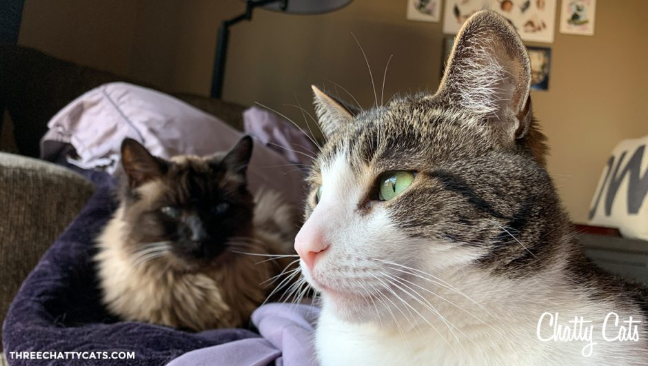 tabby cat with Siamese cat in background