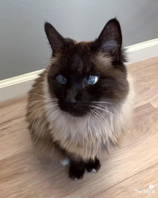 handsome blue-eyed cat